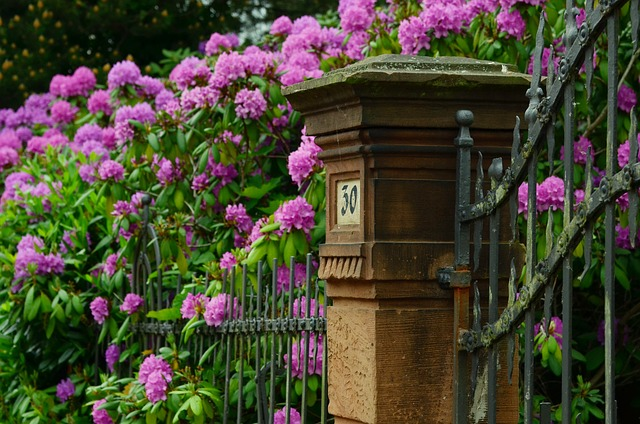 ododendron u plotu